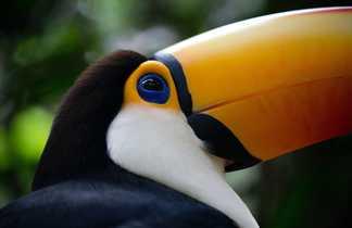 Un toucan dans le parc national Iguazu, entre Argentine et Brésil