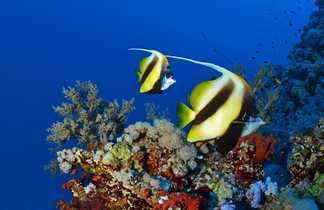 Un véritable aquarium. Couple de poissons cochers
