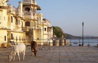 Vaches devant le city Palace au bord du lac Picchola à Udaipur