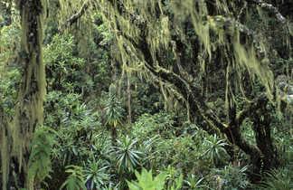 Végétation équatoriale sur les premières pentes du Kili