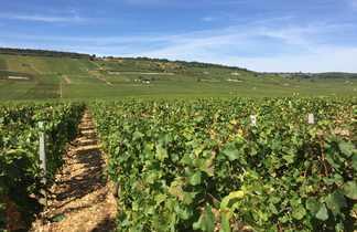 les vignes en bourgogne sud