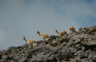 Vigognes de la réserve du Chimborazo