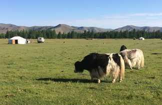Yak dans la steppe mongole