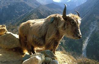 Yak dans le massif du Khumbu