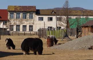 Yaks devant les maisons