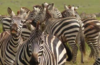 Zèbres dans l'aire du Ngorongoro