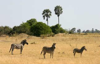 Zèbres dans une plaine avec des palmiers au Botswana