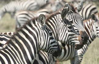Tanzanie, parc du Serengeti, safari, zèbres