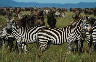 Zèbres et gnous s'entendent  bien sur les plaines herbeuses de Tanzanie
