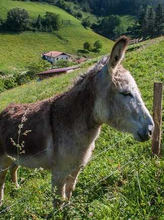Âne dans le pays basque