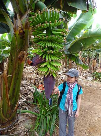 Bananiers des Canaries