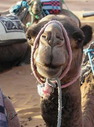 Chameau au Maroc