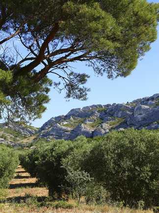 Champs d'oliviers dans le massif des Alpilles en Provence