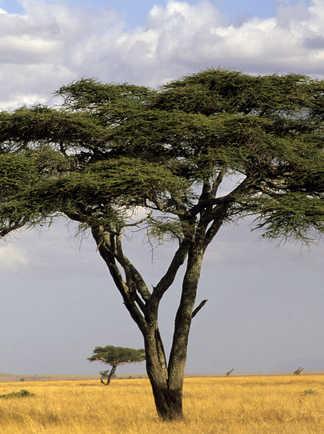 Cliché de l'acacia isolé dans la savane africaine peu arborée, ici le Serengeti
