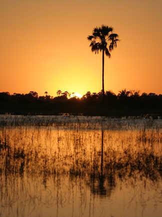 Coucher de soleil sur un palmier dans le delta de l'Okavango