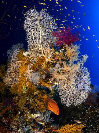 Décor sous-marin de Mer Rouge, gorgones et mérou