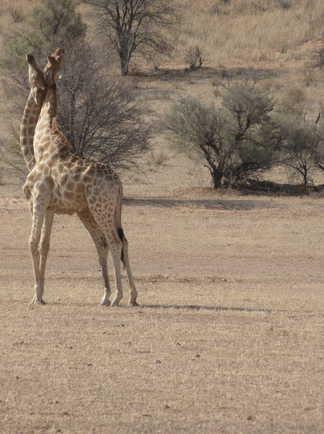 Deux girafes enlacées en Afrique du Sud