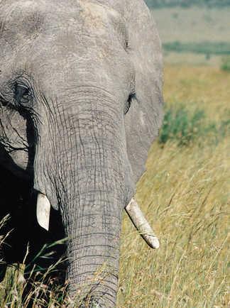 Éléphant dans une réserve naturelle en Tanzanie