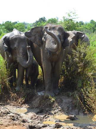 Elephants-dans-le-Parc-d'Udawalawe-Sri-Lanka