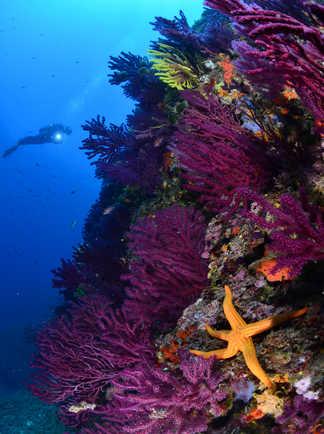 Etoile de mer en promenade parmi les gorgones violettes