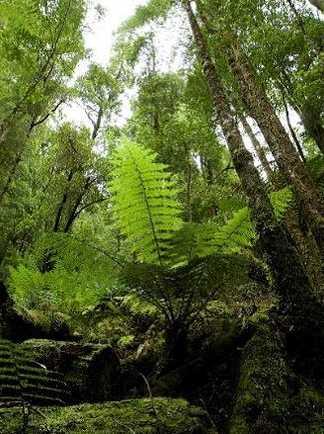 Forêt tempérée de Tarkine