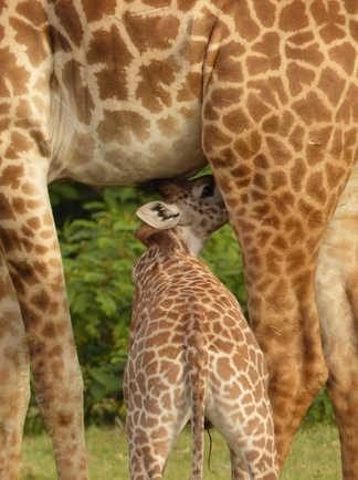Girafes à Crescent Island