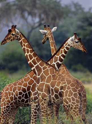 Girafes au cratère du Ngoquot