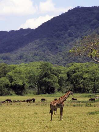 Girafes et buffles dans la savane en Tanzanie