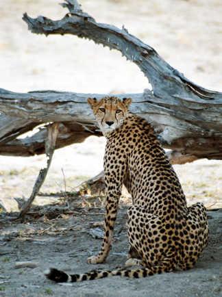 Guépard dans la réserve de Moremi au Botswana