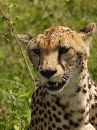 Guépard dans le Serengeti