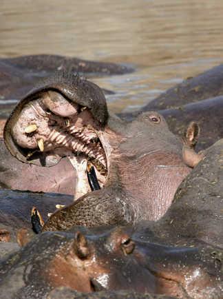 Hippopotames dans l'eau au Kenya