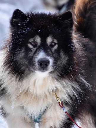 Kimik le chien de traîneau groenlandais