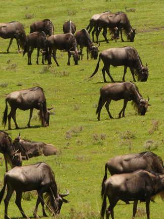 Les gnous lors de leur migration quasi permanente dans le Serengeti