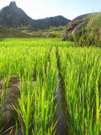 Les magnifiques rizières de Madagascar