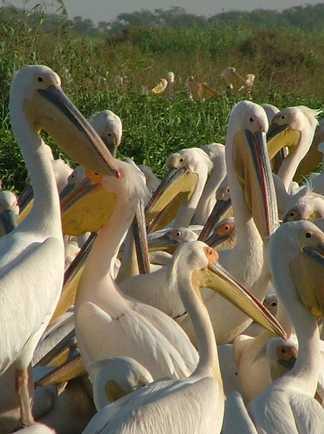 Les pélicans du parc national du Djoudj au Sénégal