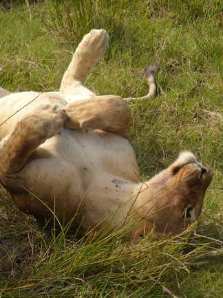 Lionne se prélassant dans l'herbe de la savane du Serengeti