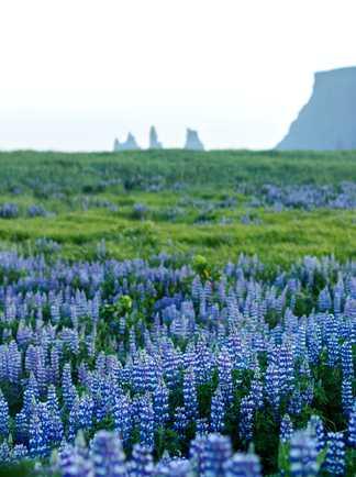 Lupins en fleurs et plage de Vik en arrière plan