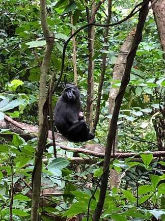 Macaque noir, Parc National de Tangkoko, Sulawesi, Indonésie