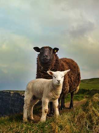 Moutons en bord de falaise, Burren