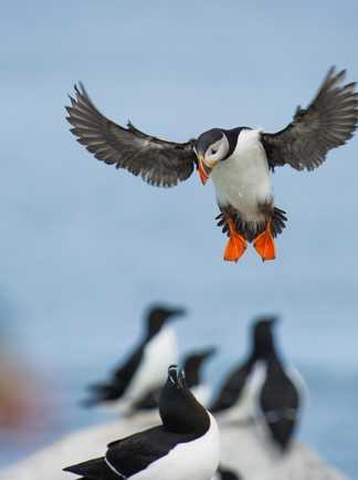 Oiseaux marins Irlande