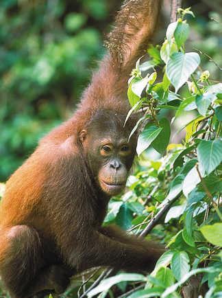 Orang-outan dans la forêt