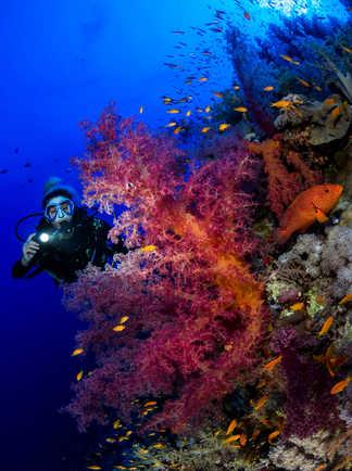 Partout en Mer Rouge, les coraux multicolores foisonnent