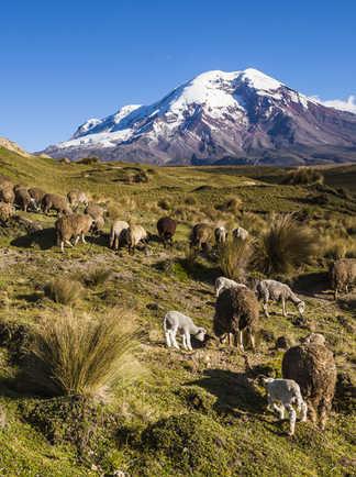 Pâturages dans la région du Chimborazo