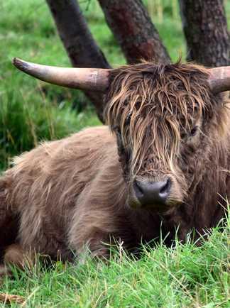 Vache Nord Ecosse Orcades