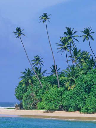 Plage-bordée-de-cocotiers-au-Sri-Lanka