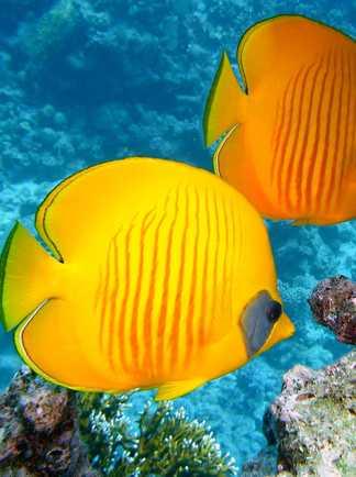 poisson mer rouge aqaba