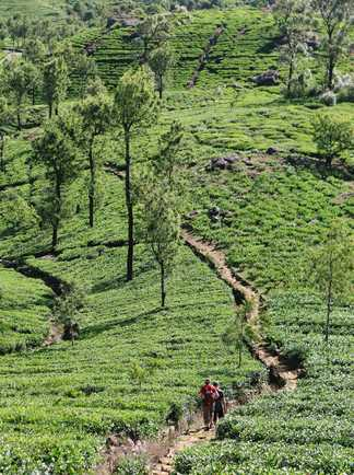 Randonnée dans les plantations du thé au Sri Lanka
