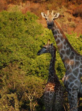 Rencontre avec une girafe en Afrique du Sud