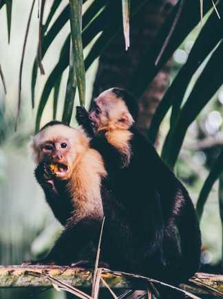 Singes Capucins...et curieux - Costa Rica