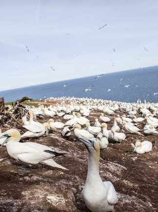Site de nidification de la colonie de fous de Bassan sur l'île Bonaventure en Gaspésie